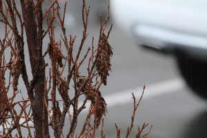 Cover photo for Pest Alert: Bagworms Now Active in Landscapes