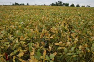 Cover photo for Soybean Rust Found Inside Safety Threshold for Brunswick