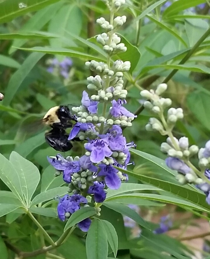 Bee pollinating Chasteberry