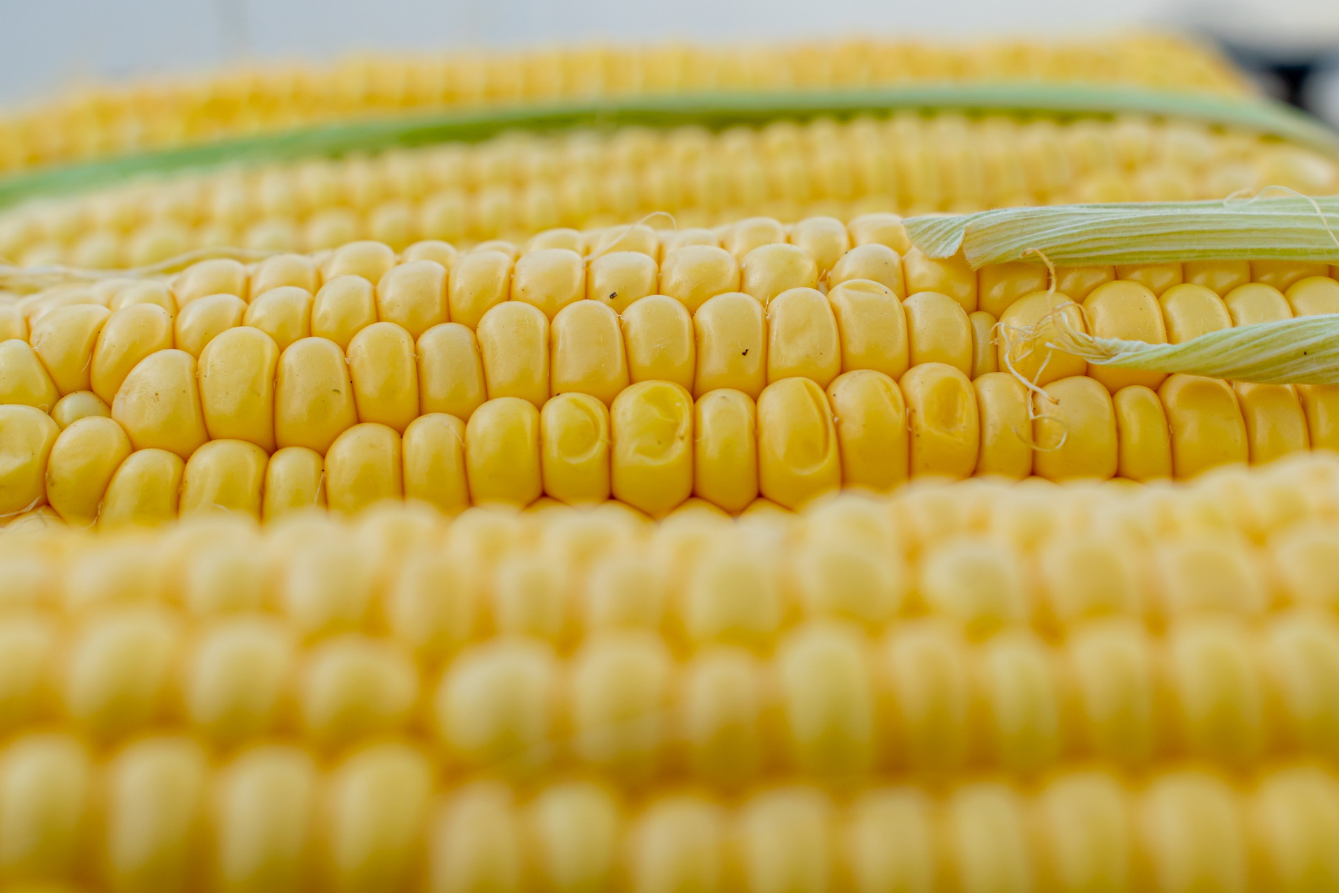 Three ears of shucked corn laying on a flat surface